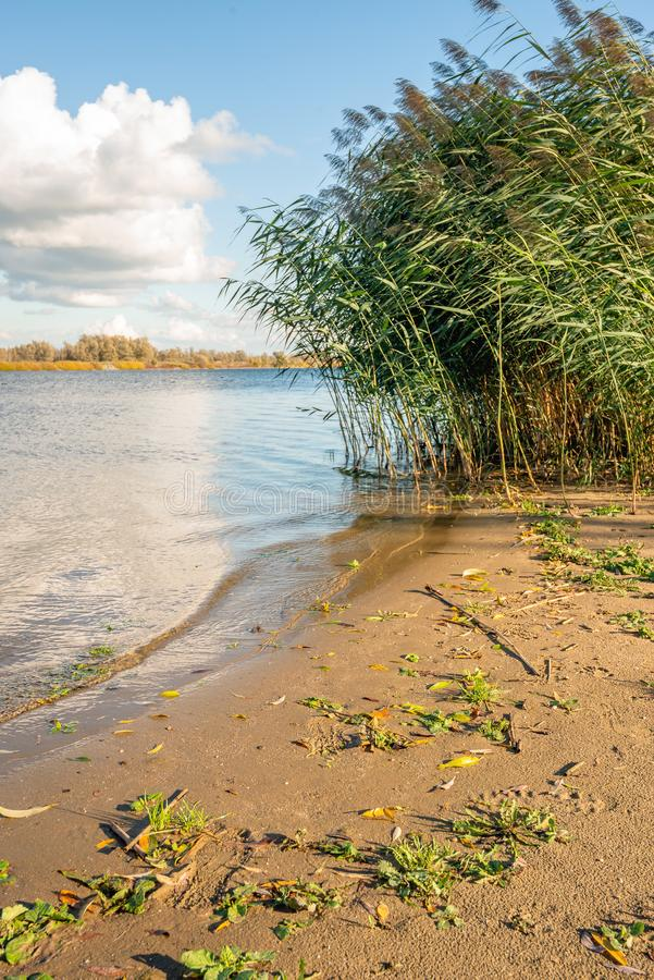 Wild plants and waving reed plumes on the sandy river beach royalty free stock photo