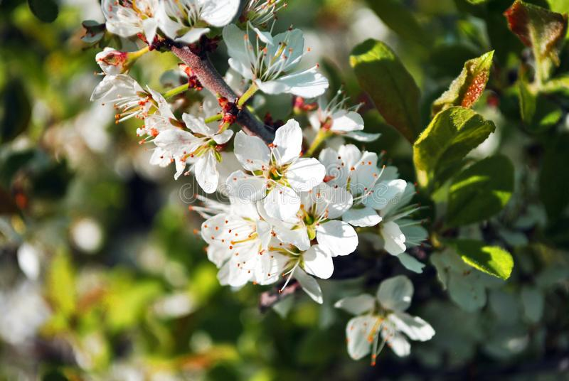 Wild plum tree blossom close up detail on blurry leaves background royalty free stock image