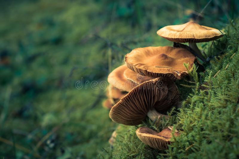 Wild poisonous toadstools grow in lush green moss with a soft background. Beautiful artistic layout with copy space royalty free stock photography