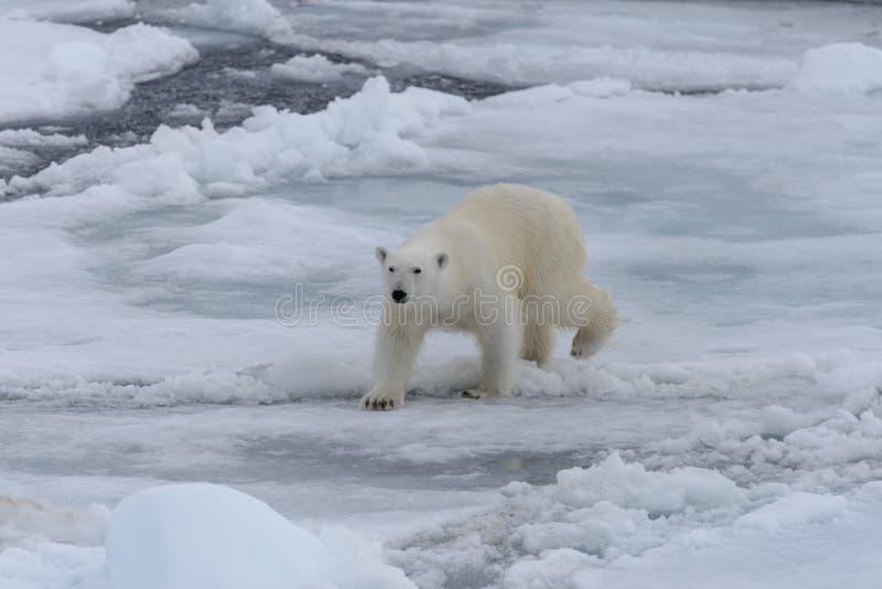 Wild polar bear on pack ice in Arctic sea stock photo