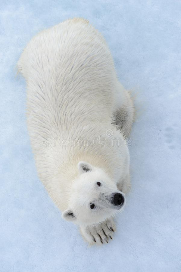 Wild polar bear on pack ice in Arctic sea view from top, aerial royalty free stock photos