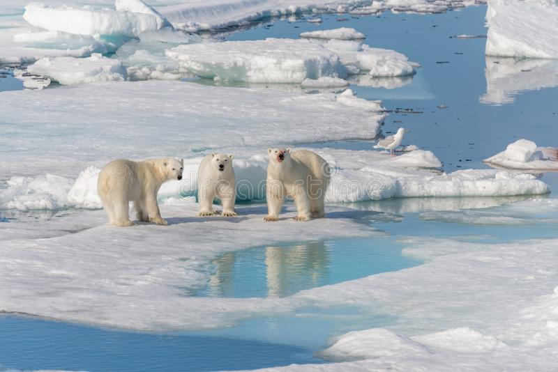 Wild polar bear Ursus maritimus mother and two young cubs on the pack ice, north of Svalbard. Arctic Norway stock photos
