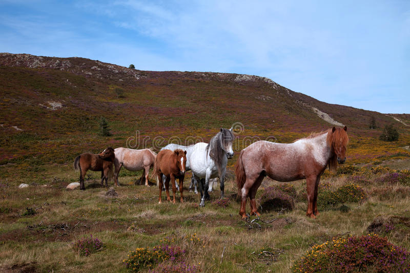 Wild Ponies Stock Images