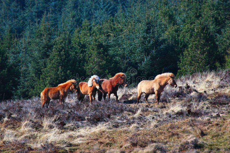 Download Wild Ponies stock photo. Image of highland, ponies, forest - 2251592