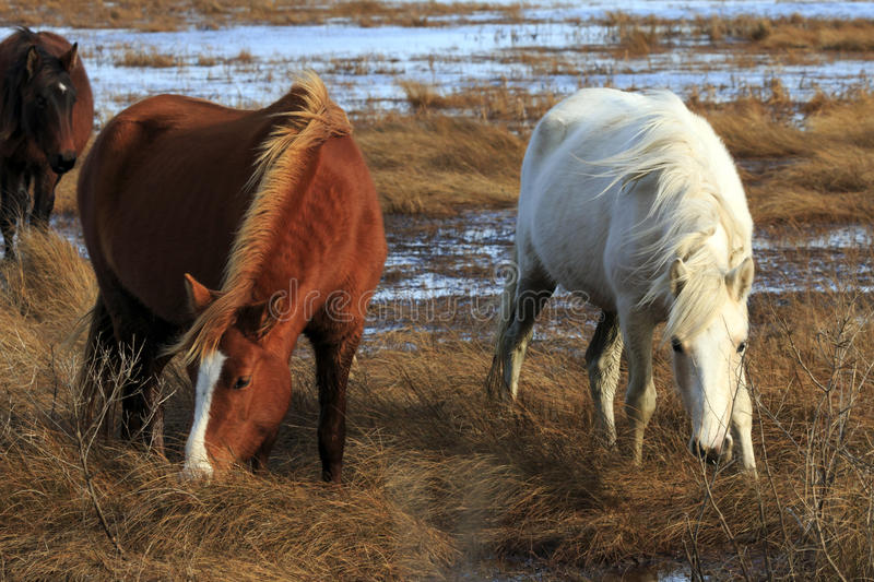 Wild Ponies. Grazing at Chincoteague National Wildlife Refuge royalty free stock image