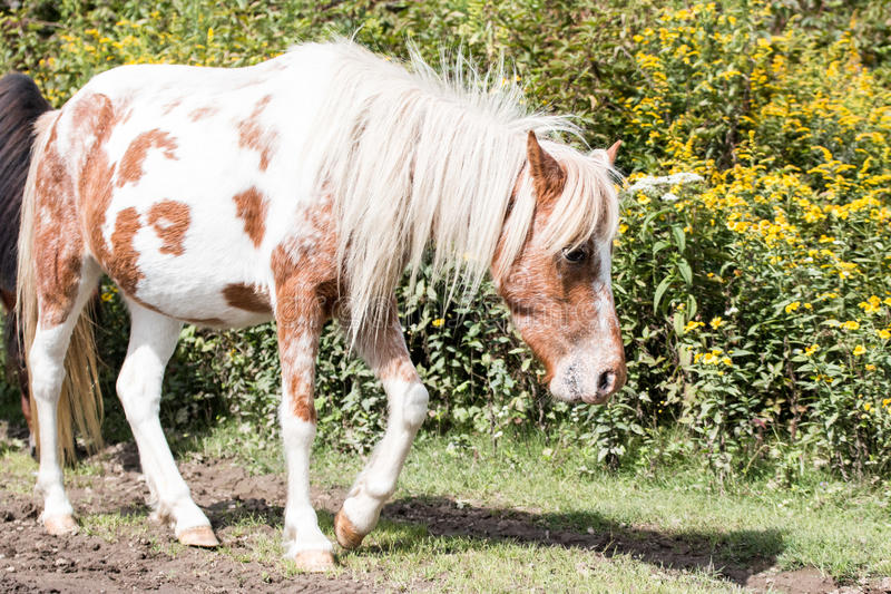 Wild ponies royalty free stock photo