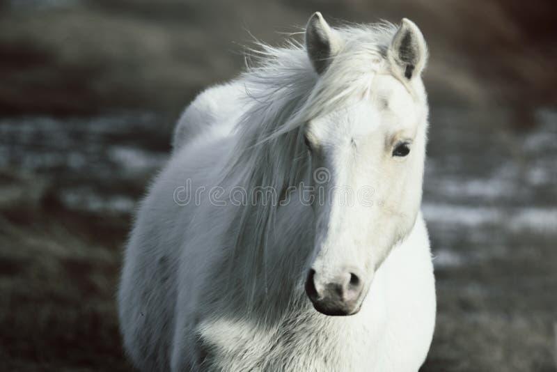 Wild ponny royaltyfria bilder