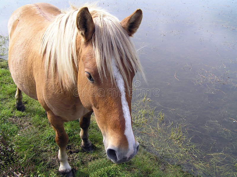 Download Wild Pony stock photo. Image of equestrian, beauty, brown - 32070