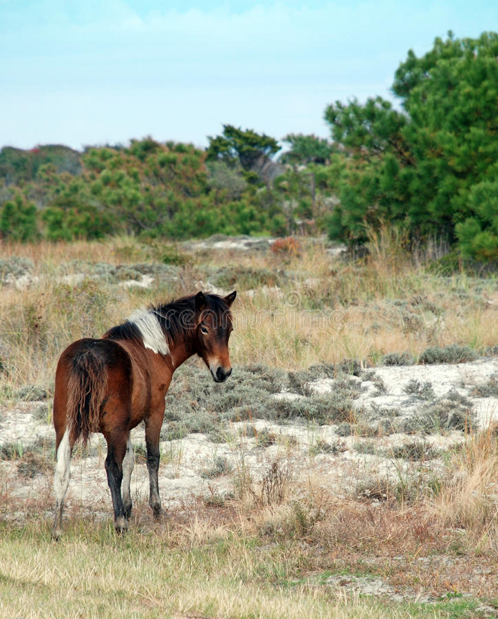 Wild Pony Assateague Island stock image