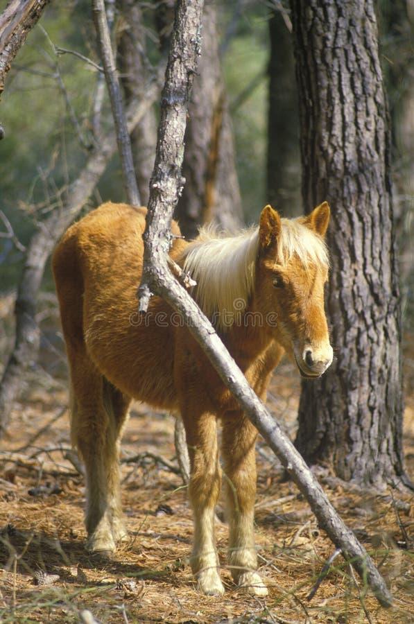 Wild pony, Assateague Wildlife refuge, VA royalty free stock images