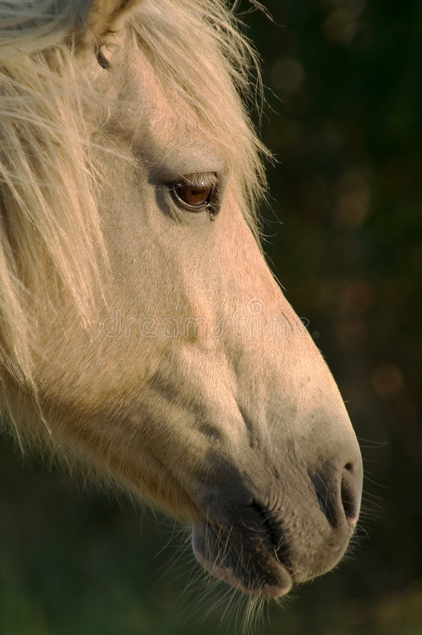 Wild Pony Head Shot stock image