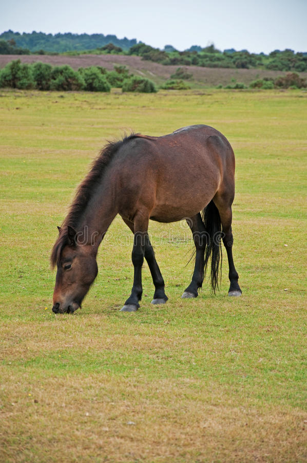Wild Pony in the New Forest stock image