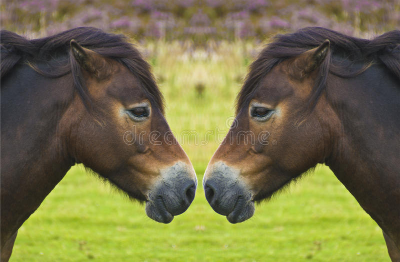 Wild pony reflection, nose to nose royalty free stock photo