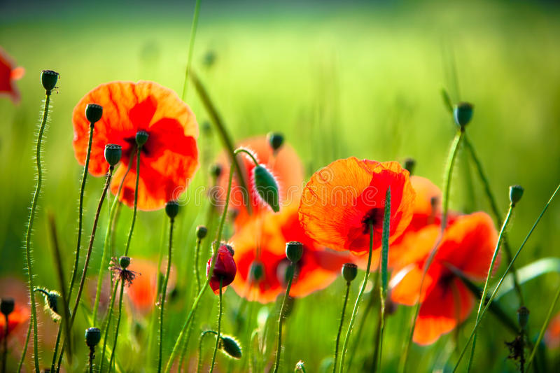 Download Wild poppies. stock photo. Image of field, rural, buildings - 13253826