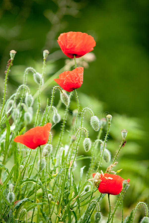 Download Wild poppies stock image. Image of flowers, outdoors - 22700227
