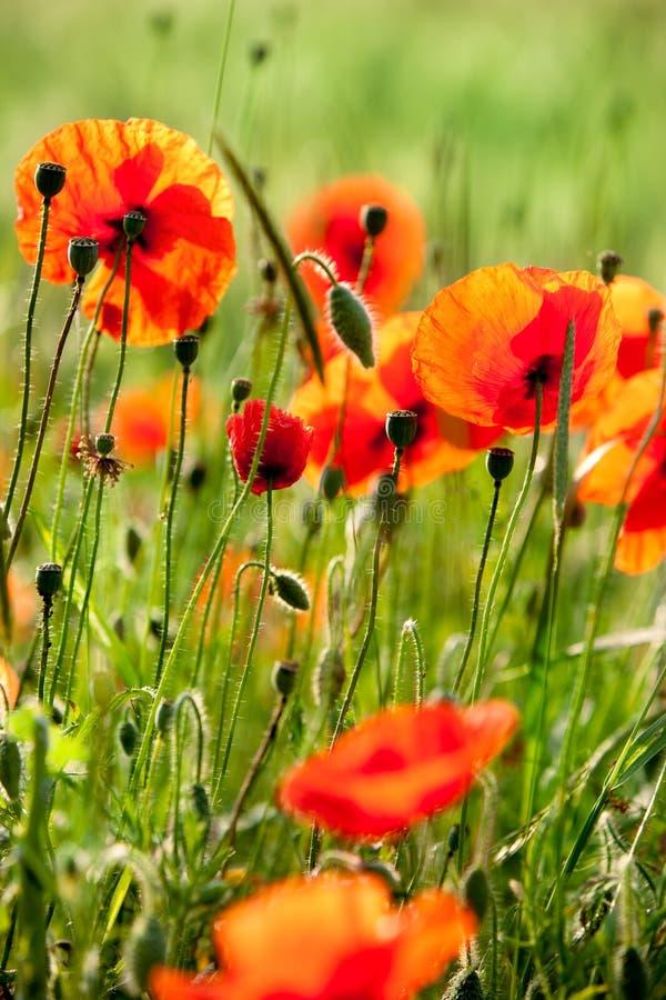 Download Wild poppies stock image. Image of dordogne, wild, outdoors - 22716101