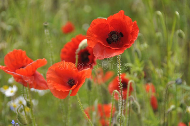 Wild Poppies Stock Images