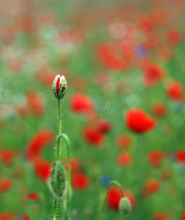 Download Wild Poppies Royalty Free Stock Photo - Image: 5893225