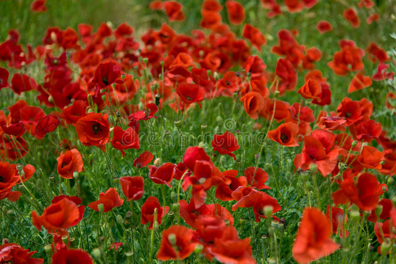 Download Wild poppies stock image. Image of stem, vibrant, rural - 41208309