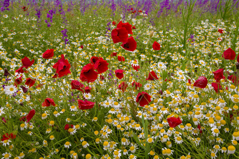 Download Wild poppies stock image. Image of background, meadow - 41208405