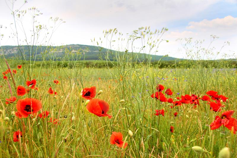 Wild poppies in a flowering field. stock photography
