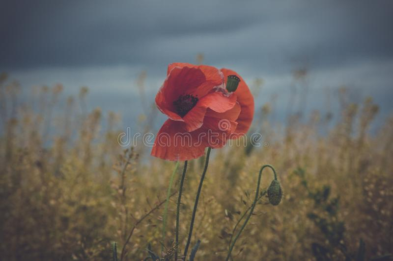 Wild poppies flowers royalty free stock image