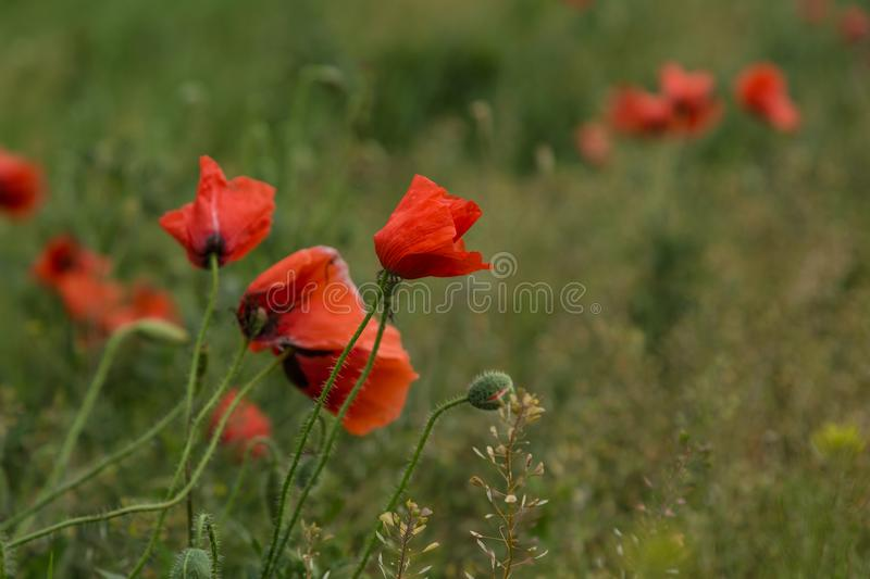Wild poppies flowers stock images