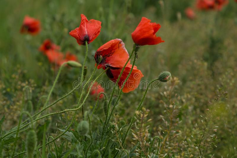 Wild poppies flowers stock photography
