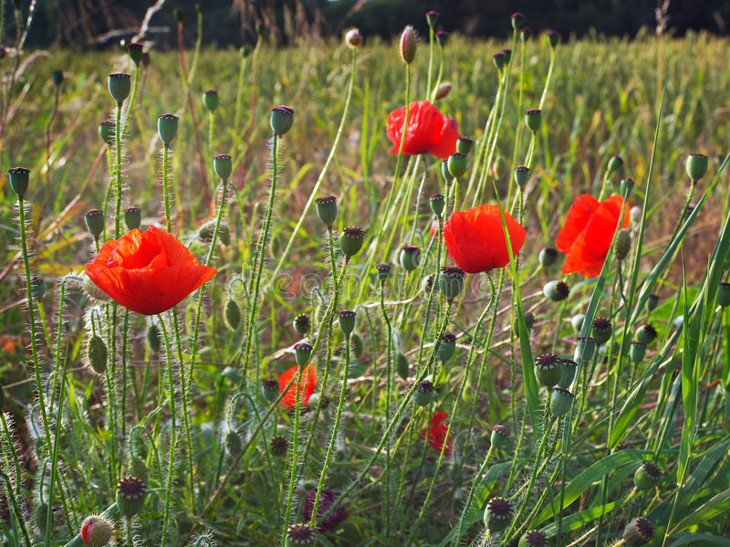 Download Wild Poppies And Seed Heads Stock Photo - Image of field, natural: 5887766