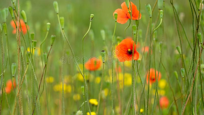 Wild poppies and yellow flowers royalty free stock photography