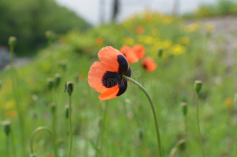 The wild poppy stock image