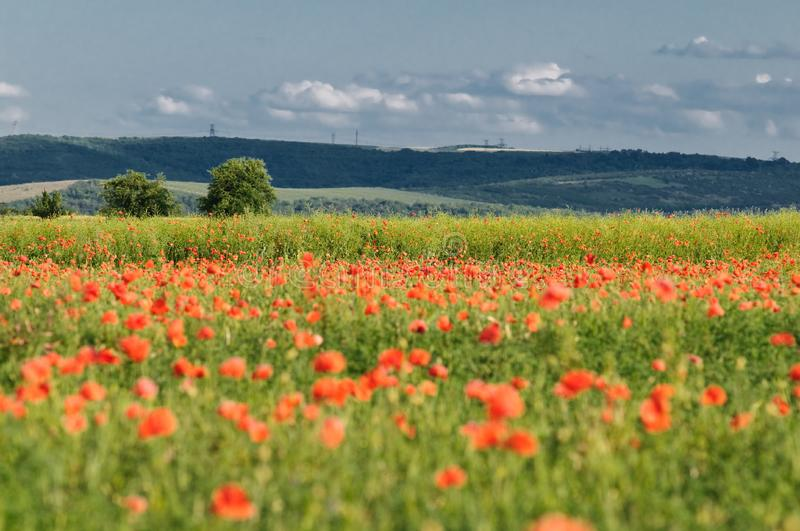 Wild poppy field royalty free stock photography