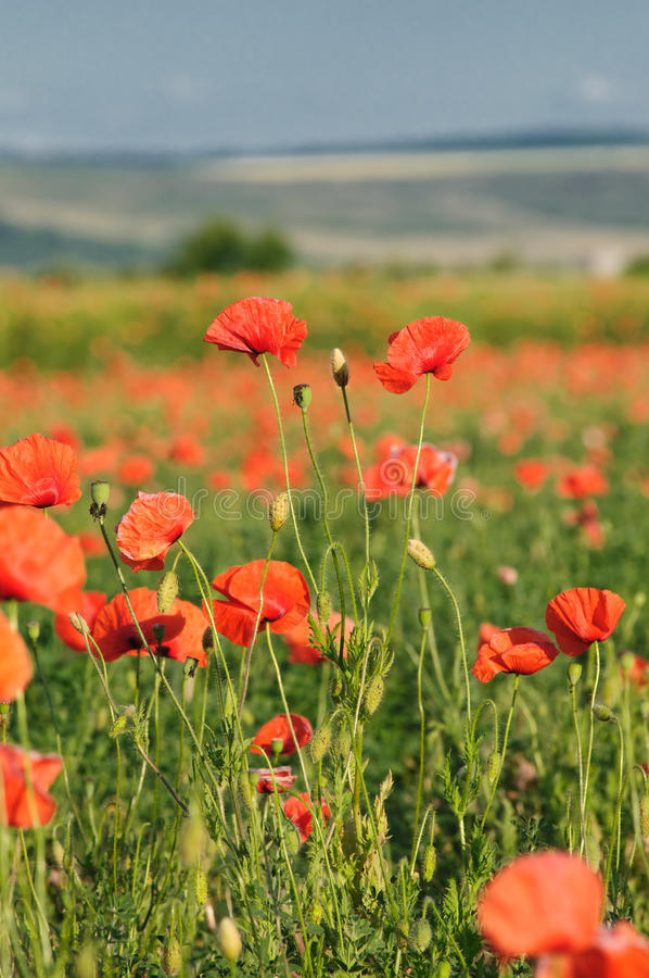 Wild poppy field. Summer rural landscape with wild poppy field stock photo