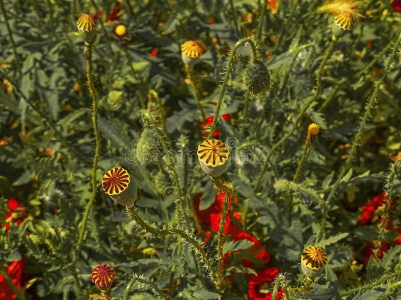 Wild poppy field. Flower landscape. Wild poppy field. Flower interior landscape stock photography