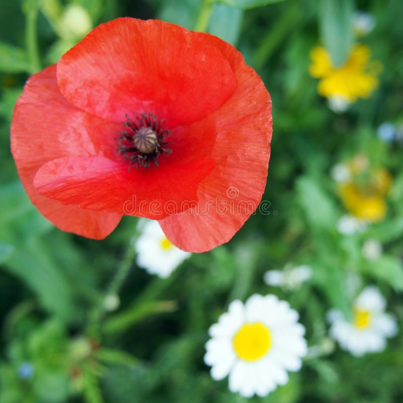 Wild poppy in a field with spring flowers background. Wild poppy in a field with spring flowers blurred background stock photos