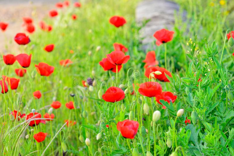 Wild poppy in the field in spring. Papaver rhoeas is a phanerogamous species of the genus Papaver, belonging to the Papaveraceae. Family stock images