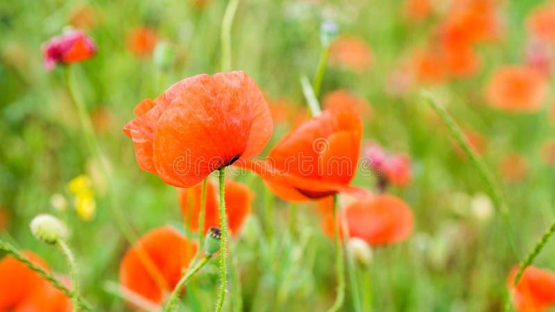 Wild poppy field. On summer day stock image