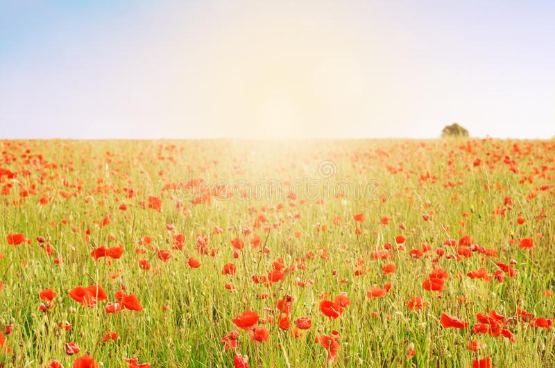 Wild Poppy Field with Tree and Sunlight. Wild poppy field with lone tree on horizon and sunlight effect glowing across the meadow stock photography