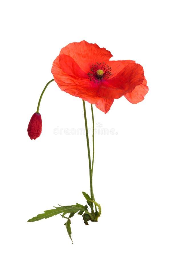 Wild poppy flower. Isolated on white background stock photography
