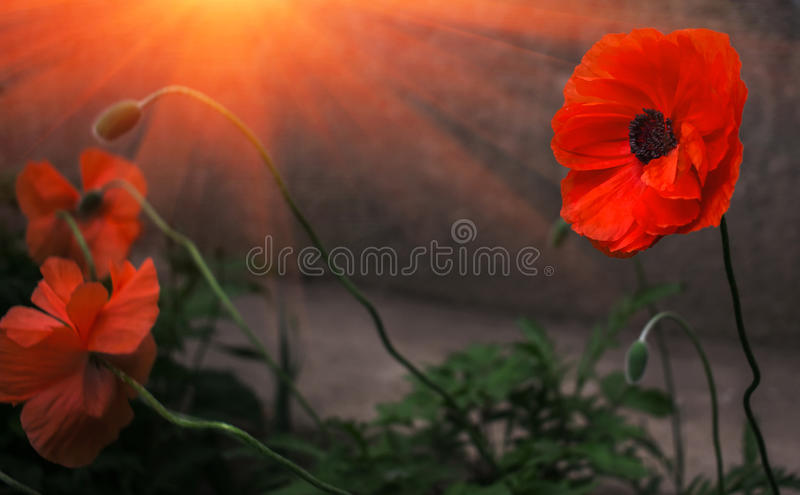 Wild poppy flower in the sun remembrance stock image image of download wild poppy flower in the sun remembrance stock image image of flora mightylinksfo