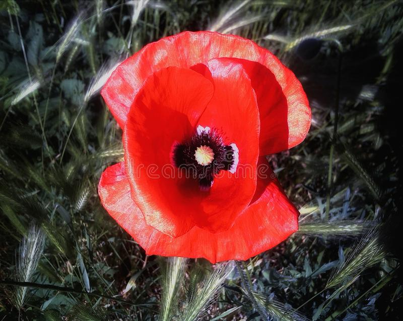 Single poppy royalty free stock images