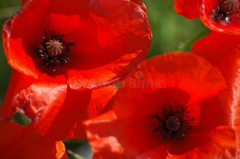 Wild Poppy's. An image of wild poppy's shot in Hertfordshire heathland during summer 2005, using natural lighting. Shot on a Nikon D70 using a macro lens, no royalty free stock image