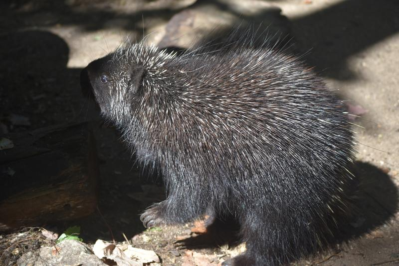 Close up on a porcupine standing next to a log royalty free stock photo