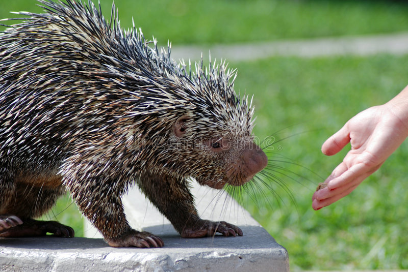 Wild Porcupine Eating royalty free stock photography