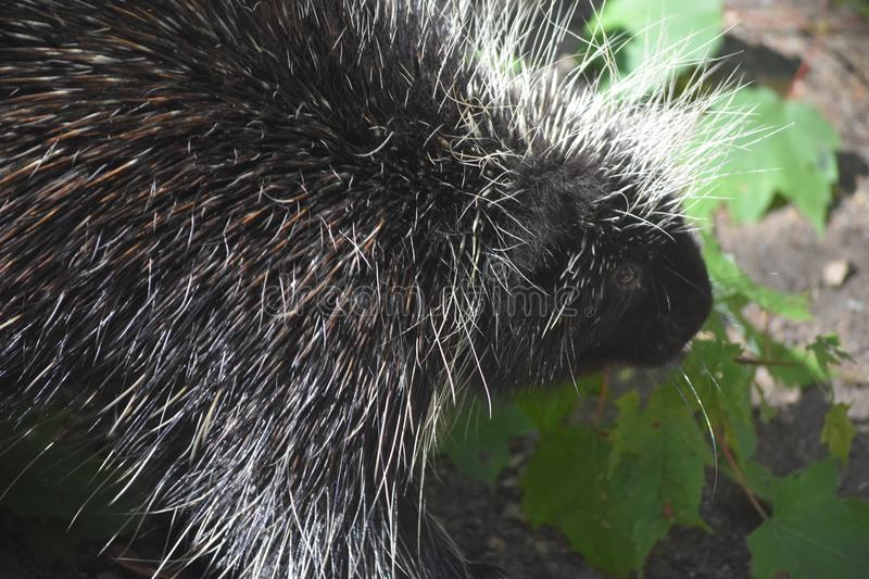 Close up on the face of a black and white porcupine royalty free stock photos