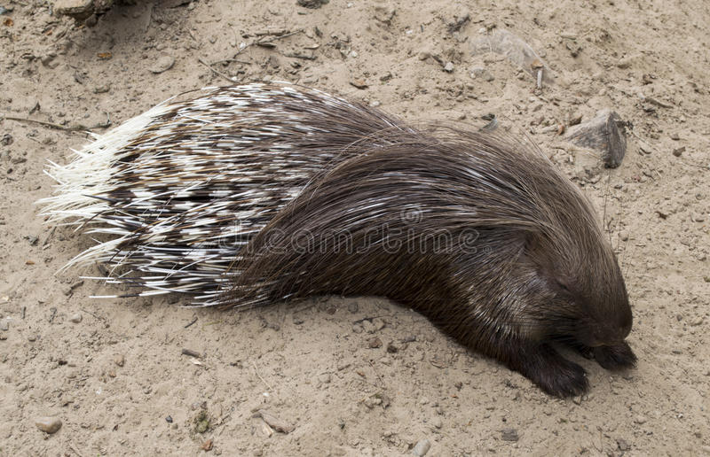 Wild porcupine royalty free stock images