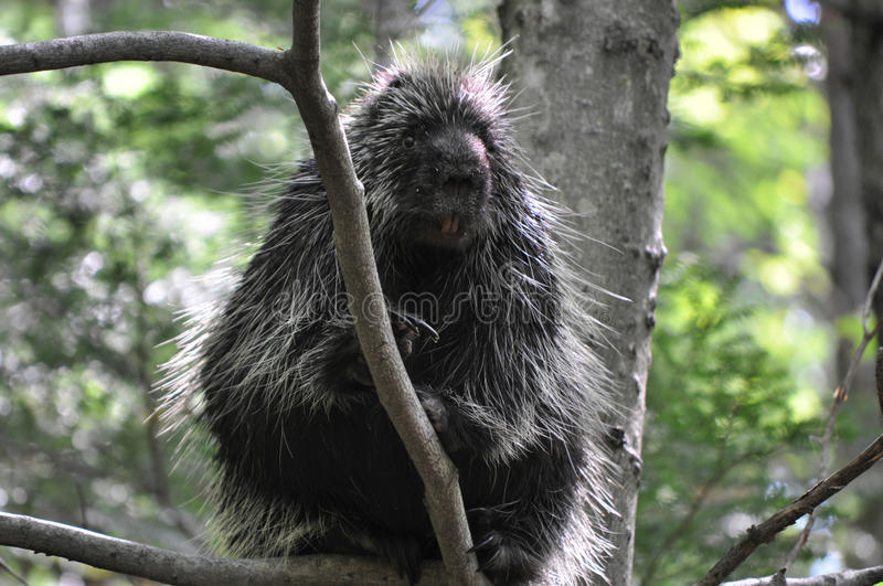 Wild porcupine. Porcupine up in a tree for safety royalty free stock images