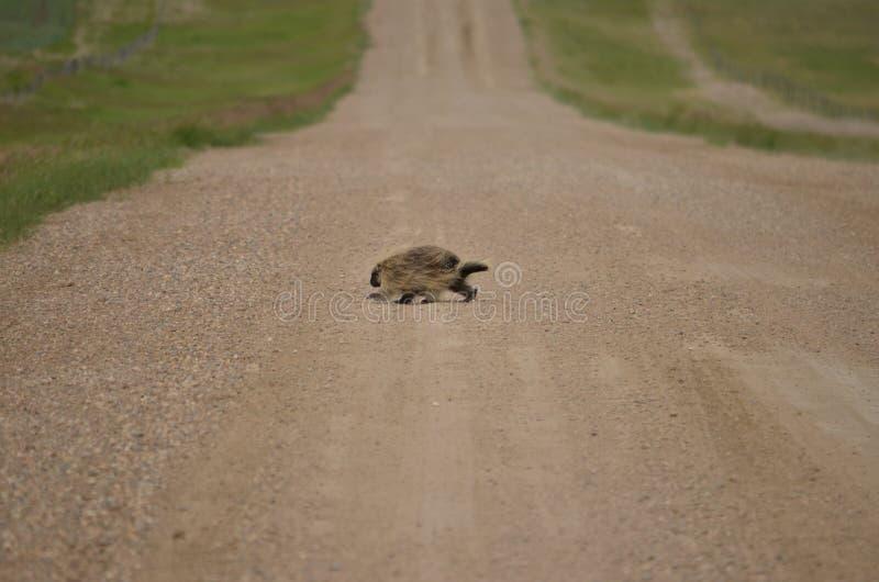 Wild porcupine walking across dirt road. In Saskatchewan, Canada stock images