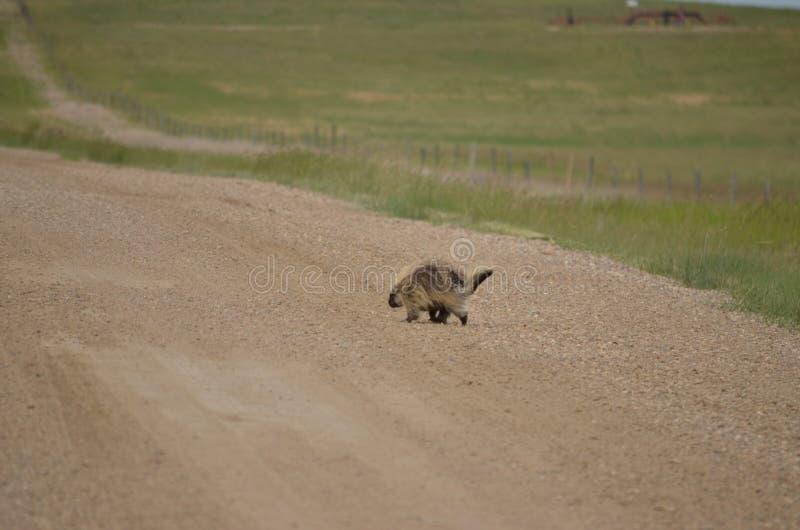 Wild porcupine walking across dirt road. In Saskatchewan, Canada royalty free stock images