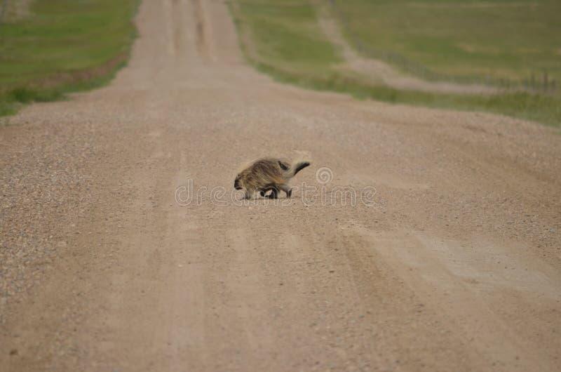Wild porcupine walking across dirt road. In Saskatchewan, Canada royalty free stock image